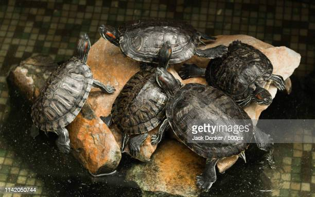 turtles - donker stock pictures, royalty-free photos & images