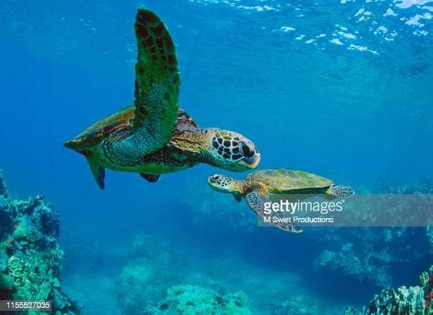 turtles - sea life stock pictures, royalty-free photos & images