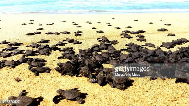 turtles - hatching stock pictures, royalty-free photos & images