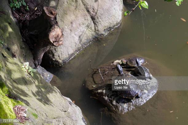turtles - liyao xie stock pictures, royalty-free photos & images
