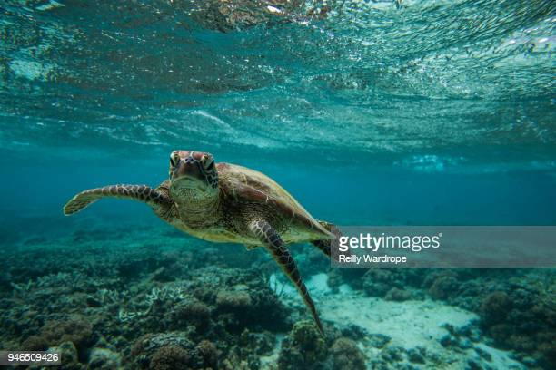 turtles - unterwasseraufnahme meer stock-fotos und bilder