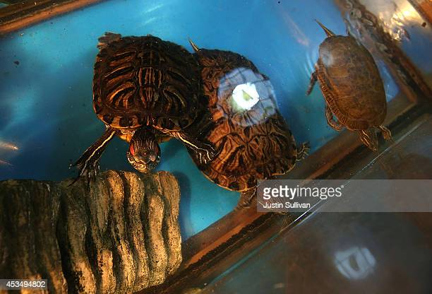 Turtles swim in an aquarium at a pet store on August 11 2014 in San Francisco California San Francisco Bay Area animal shelters and humane society...