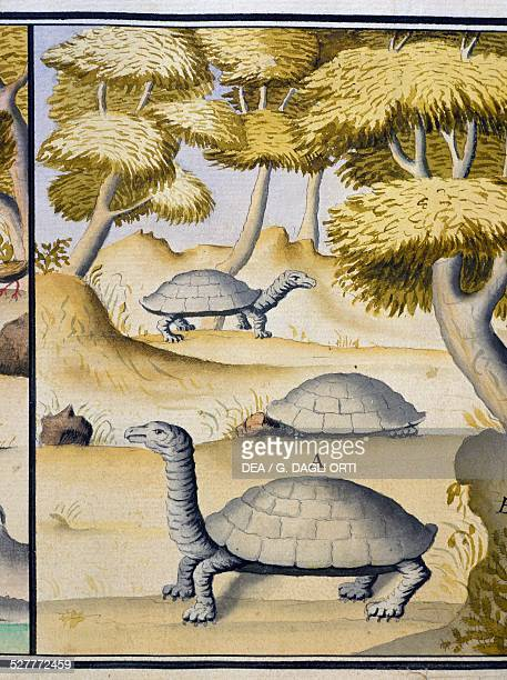 Turtles watercolour from the log book by Jacques Gouin de Beauchesne captain of the Compagnie royale de la Mer du Sud from 1698 to 1701 France 18th...