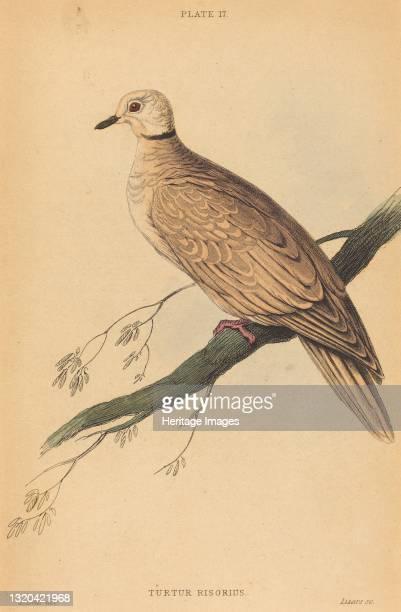 Turtur Risorius. Artist William Home Lizars.