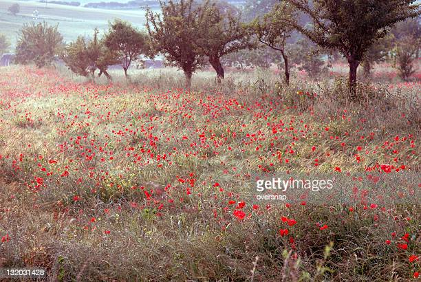 tuscan poppies at dawn - claude monet stock pictures, royalty-free photos & images