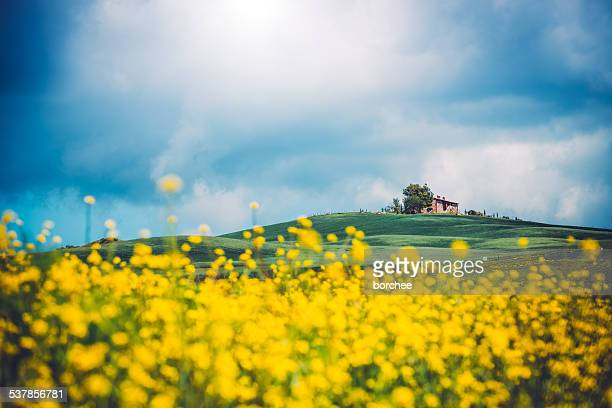 tuscany canola field - brassica stock photos and pictures