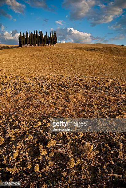 Tuscany Cypress trees