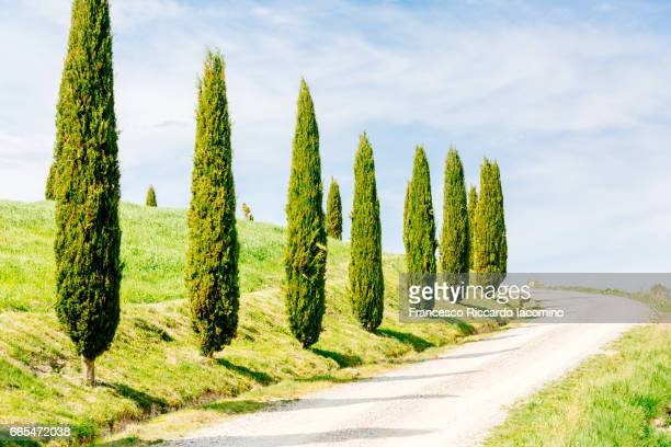 Tuscany, cypress trees, springtime at sunset