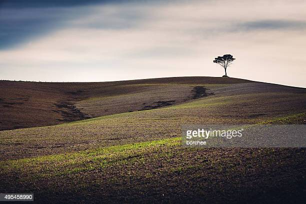 tuscany field with lone tree - single tree stock pictures, royalty-free photos & images