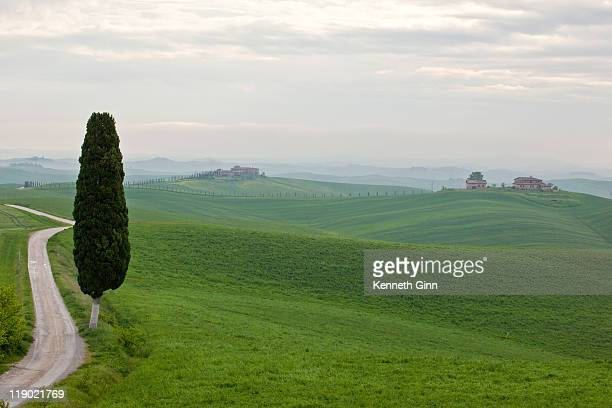 A mature Cypress sits beside a country road in Tuscany.
