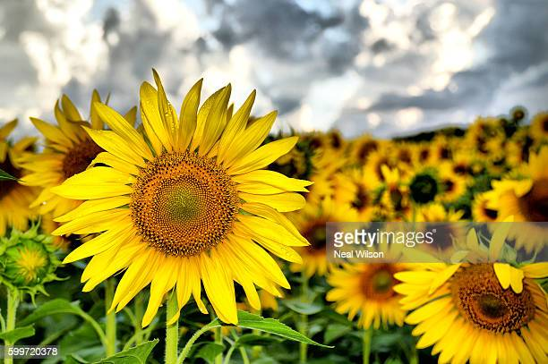 tuscany, italy - helianthus stock photos and pictures