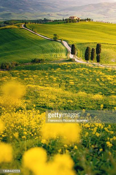 tuscany, springtime in the afternoon. path, yellow flowers, green rolling hills and cypress trees - iacomino italy foto e immagini stock