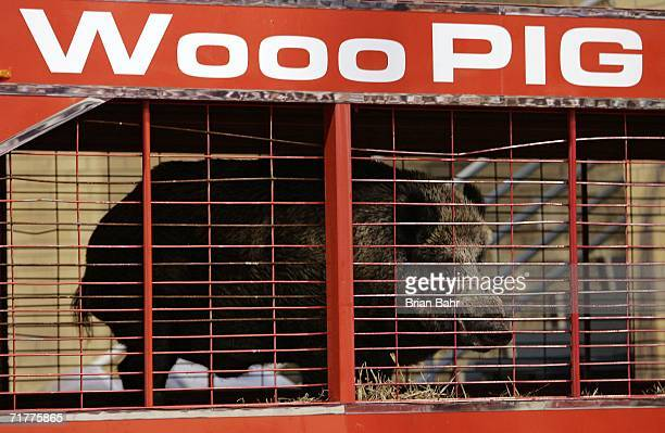 """Tusk,"""" one of the Arkansas Razorbacks' mascots, watches pregame activities from the endsone before a game against the University of Southern..."""