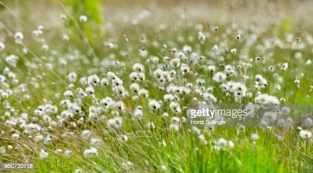 tussock cottongrass (Eriophorum vaginatum), Grundbeckenmoor, Nicklheim, alpine upland Bavaria, Germany