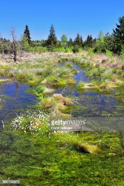 Tussock cottongrass (Eriophorum vaginatum) in moorland ponds, Grundbeckenmoor, Nicklheim, alpine upland, Bavaria, Germany