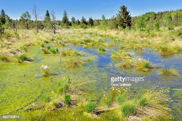 Tussock cottongrass (Eriophorum vaginatum)with dead pines and peat moss (Spagunm sp.), Grundbeckenmoor, Nicklheim, alpine upland, Bavaria, Germany