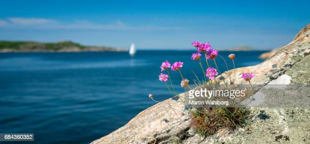 tussock of thrift and white sails - sweden stock pictures, royalty-free photos & images