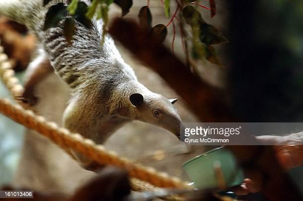 Tuvoc, a tamandua , sticks her 16-inch-long tongue out for a bowl of mill worms and wax worms being feed to her by zoo keeper Dave Parman. Tuvoc...
