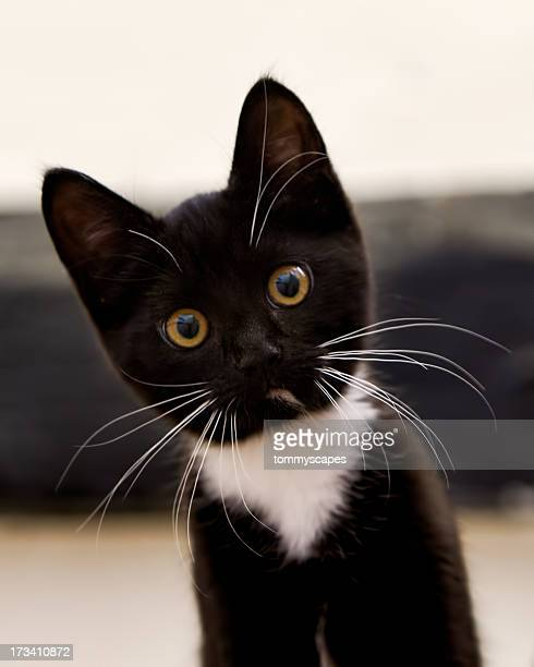 tuxedo kitten stare - black cat stock photos and pictures