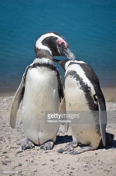 tw penguins - radicella stock photos and pictures