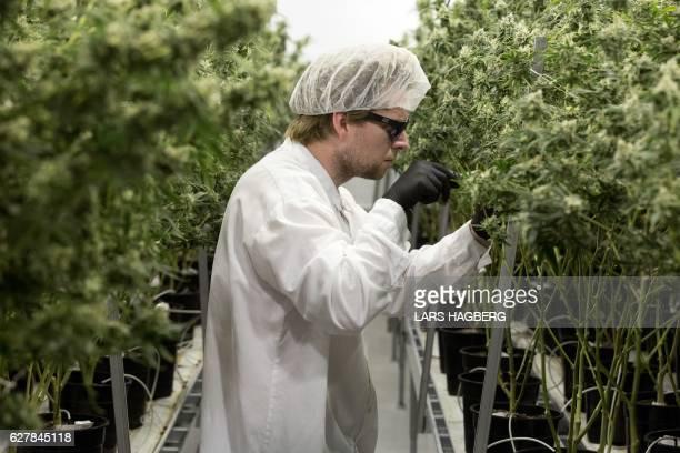 Tweed employee Ryan Harris trims plants inside the Flowering Room with medicinal marijuana at Tweed INC in Smith Falls Ontario on December 5 2016 /...
