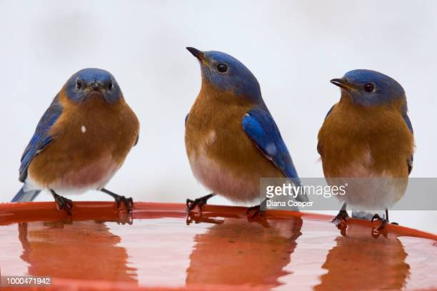 tweet trio - eastern bluebird stock pictures, royalty-free photos & images