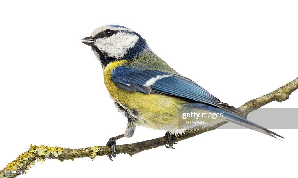 Tweeting Blue Tit perched, Cyanistes caeruleus : Stock-Foto