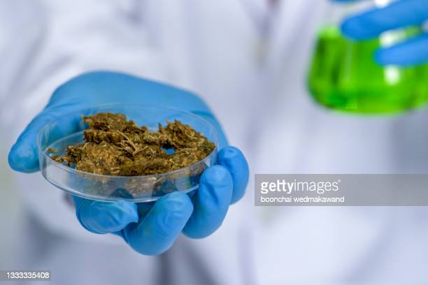 tweezers hold cannabis bud in a laboratory - luggage hold stock pictures, royalty-free photos & images