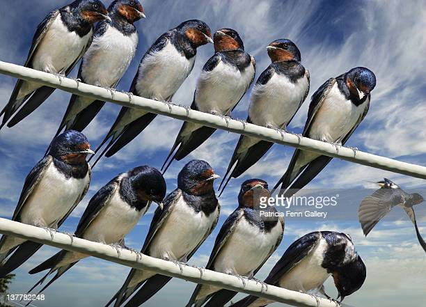 twelve migrating barn swallows birds - herakleion stock photos and pictures