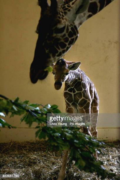 A twelvedayold reticulated giraffe is watched over by his mother at the Giraffe House in Whipsnade Wild Animal Park Bedfordshire