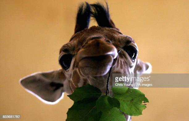 A twelvedayold reticulated giraffe tucks into a leafy snack at the Giraffe House in Whipsnade Wild Animal Park Bedfordshire