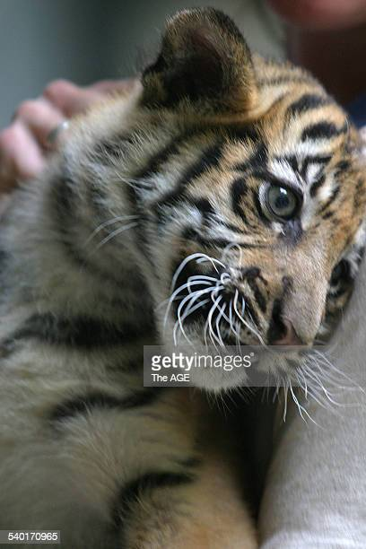 A twelveweekold Sumatran tiger cub after receiving an injection vaccinating against cat flu and feline enteritis at Melbourne Zoo Victoria 17 January...