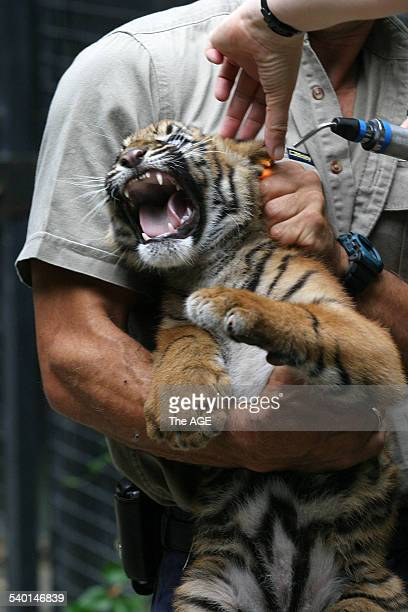 A twelveweekold Sumatran tiger cub is returned to its mother by zookeeper Mark Turner after receiving an injection vaccinating against cat flu and...