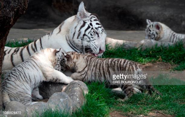 Twelveyearold white Bengal tigress Clarita born in captivity in Chile and her triplet nineweekold cubs are photographed at the Huachipa Zoo in the...
