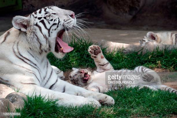 Twelveyearold white Bengal tigress Clarita born in captivity in Chile and one of her nineweekold cubs are photographed at the Huachipa Zoo in the...