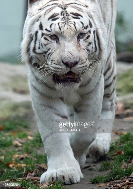 Twelveyearold white tiger Achilles strolls through his enclosure at Bratislava's Zoo on November 13 2014 AFP PHOTO/JOE KLAMAR