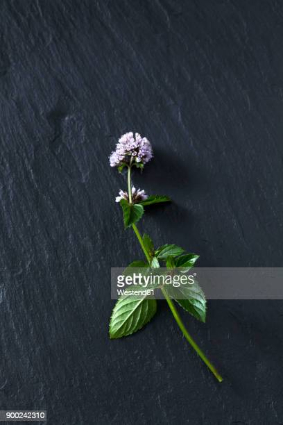 Twig of blossoming peppermint on slate