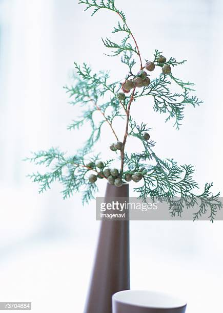 Twig of cypress in flower vase