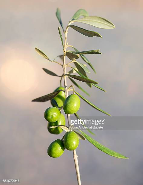 Twig of olive tree with green olives