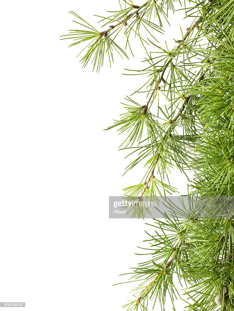 Twig of pine tree , isolated : Stock Photo