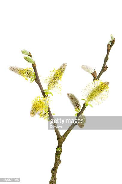 Twig Of Pussy Willow With Catkin And Leaves
