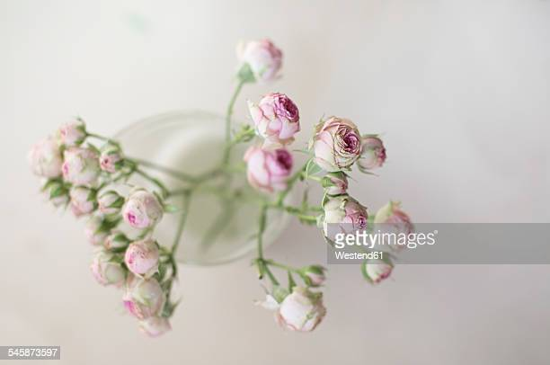 Twig of tea roses in front of white ground