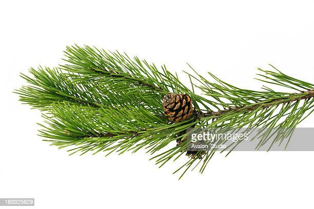 twig pine with cone on a white background - twijg stockfoto's en -beelden