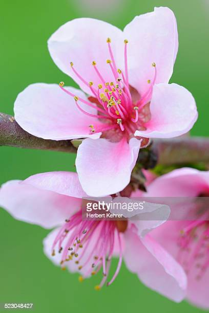 twig with peach blossoms -prunus persica- - peach blossom stock pictures, royalty-free photos & images