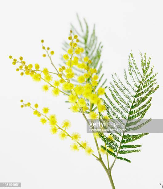 twig with yellow flowers on white background - mimosa fiore foto e immagini stock