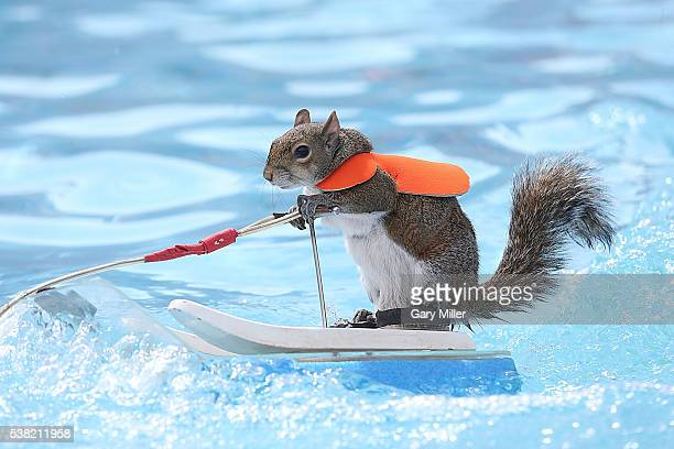 Twiggy the waterskiing squirrel performs during the X Games at Circuit of The Americas on June 3 2016 in Austin Texas