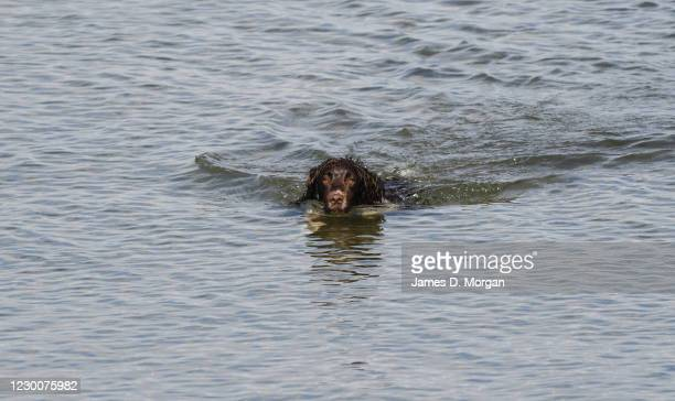 Twiglet, an English Springer Spaniel enjoys the beach as owners enjoy more time with their dogs during the Covid-19 pandemic on May 16, 2020 in...