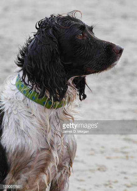 1 024 English Springer Spaniel Photos And Premium High Res Pictures Getty Images