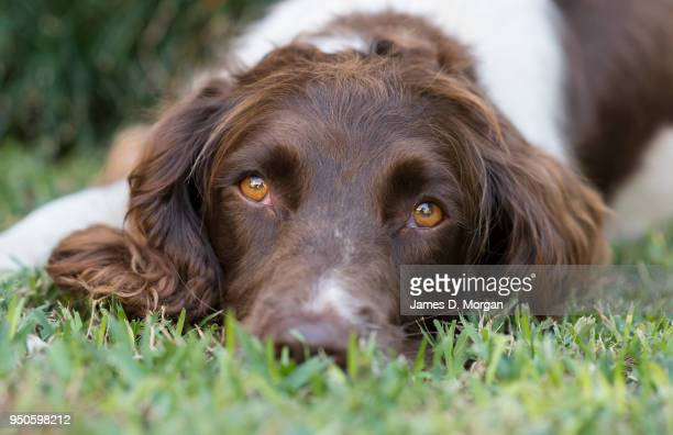 Twiglet the 2 year old English Springer Spaniel poses for portraits in a garden on April 23 2018 in Sydney Australia