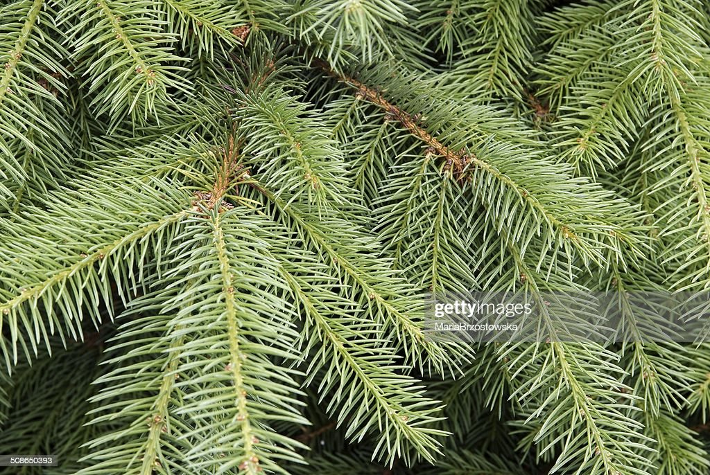 twigs of spruce tree : Stock Photo